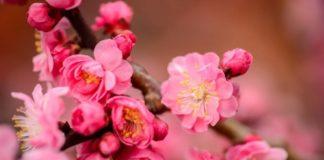 hoa mận nở tại Nhật Bản